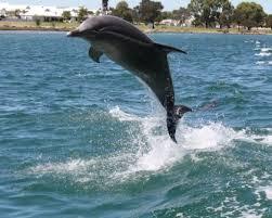 Mand Dolphin